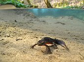Alpine Newt in the clear waters of a stream France