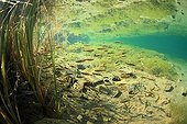 School of minnows in a mountain lake in Savoy ; At 2000 meters