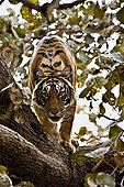 Wild Tiger (Panthera tigris) looking down from a tree in Ranthambore National Park, Rajasthan, India, Asia