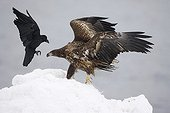 White-tailed eagle facing a Raven Japan
