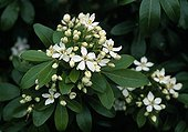 Mexican orange blossom in bloom in a garden