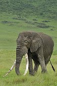 Elephant male with very long tusks in Tanzania