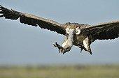 Vautour africain atterrissant  PN du Serengeti Tanzanie