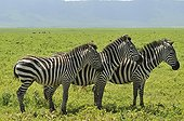 Three Zebras plain aligned Ngorongoro in Tanzania