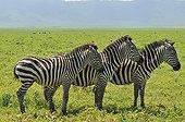 Trois Zèbres de plaine alignés Ngorongoro en Tanzanie