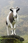 Domestic Goat (Capra hircus hircus) on a mist covered pasture in North Tyrol, Austria, Europe