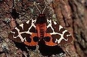 Garden Tiger Moth (Arctia caja), Tyrol, Austria, Europe