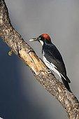 Acorn Woodpecker (Melanerpes formicivorus), Yosemite National Park, California, USA
