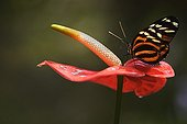 Heliconius butterfly on a flower of Anthurium