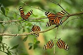 Group of Heliconius butterflies on a branch