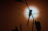 Dragonfly in front of the sunset in Lorraine France