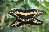 Butterflies mating in a butterflies house