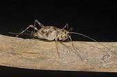 Cave Cricket on a dead branch ; Species of East Africa.