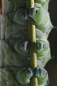 Cupping of a Giant atlas moth caterpillar on a branch ; Last stage of development