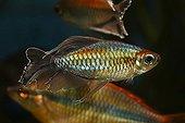 Congo Tetra fish (Phenacogrammus interruptus), male, native to Africa, warm water, freshwater aquarium