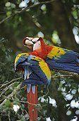 Scarlet Macaw couple grooming Costa Rica