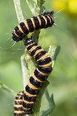 Cinnabar Moth (Tyria jacobaeae), Caterpillars larval, moth, Harnessed Tiger Moth (Arctiidae), on a half eaten Ragwort Plant (Senecio jacobaea)