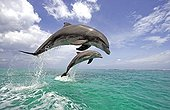 Common Bottlenose Dolphin (Tursiops truncatus), pair, adult, jumping out of the water, Caribbean, Roatan, Honduras, Central America