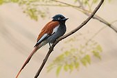 African Paradise-Flycatcher looking for insects Tanzania