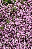 Rock soapwort in bloom in a garden