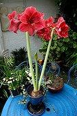 Amaryllis in bloom in a garden