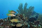Bluestriped Grunt fish (Haemulon sciurus) and two Schoolmaster Snapper fish (Lutjanus apodus) swimming in a coral reef, barrier reef, San Pedro, Ambergris Cay Island, Belize, Central America, Caribbean