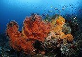 Coral block at coral reef with variety of red sea fans (Melithaea ochracea) and fish, Gangga Island, Bangka Islands, North Sulawesi, Indonesia, Molucca Sea, Pacific, Asia