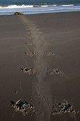 Atlantic Grey Seal (Halichoerus grypus) tracks left on the beach at Helgoland Island, North Sea, Lower Saxony, Germany, Europe