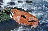 Pacific walrus (Odobenus rosmarus divergens), lying sleeping inbetween the rocks, Bering Sea, Alaska