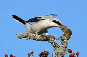 Great Grey Shrike (Lanius excubitor) with bag, Common vole (Microtus arvalis)