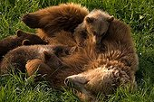 European Brown Bear (Ursus arctos) mother nursing three cubs, Poing Zoo, Munich, Bavaria, Germany, Europe