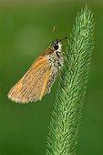 Small Skipper butterfly (Thymelicus sylvestris), Angerberg, Tirol, Austria