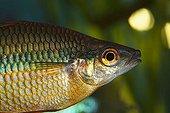 Goyder River - or Banded Rainbow Fish (Melanotaenia trifasciata) native to Australia, warm water, freshwater aquarium