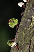 Leaf-cutting Ants (Atta cephalotes) transporting food in a group