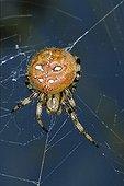 Four Spot Orb Weaver (Araneus quadratus)