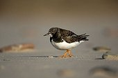 Ruddy Turnstone (Arenaria interpres) on the North Beach, Heligoland, Schleswig-Holstein, Germany, Europe