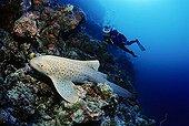 Scuba diver observing a Zebra Shark (Stegostoma fasciatum) in a coral reef, Lhaviyani Atoll, Maldives, Indian Ocean, Asia