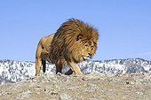 Male Barbary Lion (Panthera leo leo), extinct in the wild, lived in North Africa