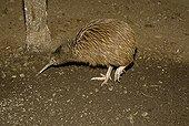 Kiwi (Apterygidae), South Island, New Zealand