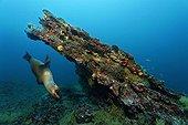 Diagonal rock reef with female Galapagos Fur Seal (Arctocephalus galapagoensis), Cousin Rock, UNESCO World Heritage Site, Galapagos archipelago, Ecuador, Pacific Ocean