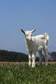 White Nanny Goat, Domestic Goat (Capra aegagrus hircus, Capra hircus hircus), Lacnov, Vsetin district, Czech Republic, Europe
