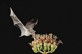 Mexican Long-tongued Bat (Choeronycteris mexicana), adult in flight at night feeding on and pollinating Agave blossom (Agave sp.), Sonoran Desert, Tucson, Arizona, USA