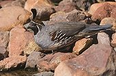 Gambel's Quail (Callipepla gambelii), male, Tucson, Sonoran Desert, Arizona, USA