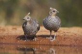 Scaled Quail (Callipepla squamata), pair drinking at pond in desert, Rio Grande Valley, Texas, USA