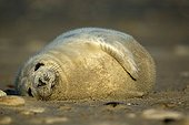 Young Gray Seal (Halichoerus grypus) cub, Heligoland, Schleswig-Holstein, Germany, Europe
