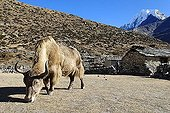 Yak at Sherpa village Machhermo, Dudh Koshi valley, Sagarmatha National Park, Khumbu Himal, Nepal