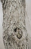 Eastern Screech-Owl (Megascops asio, Otus asio), adult roosting in hole in mesquite tree, camouflaged, Willacy County, Rio Grande Valley, South Texas, USA