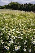 Scentless mayweed ; Matricaria maritima, Mayweed, Scentless mayweed