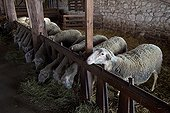 Ewes 'Lacaune' in a sheepfold 'The Amanins' France