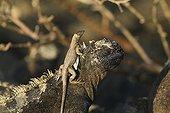 Galapagos Lava Lizard (Microlophus albemarlensis) sitting on the head of a Marine Iguana (Amblyrhynchus cristatus), Fernandina Island, Galapagos Islands, UNESCO World Heritage Site, Ecuador